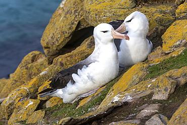Black-browed Albatross on rock, Falkland Islands