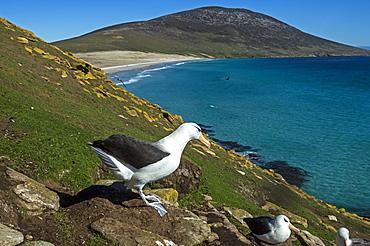 Black-browed Albatross at nest, Falkland Islands