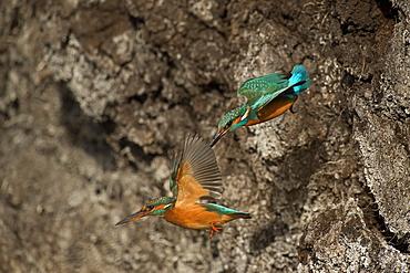 Common Kingfisher couple in flight, Denmark
