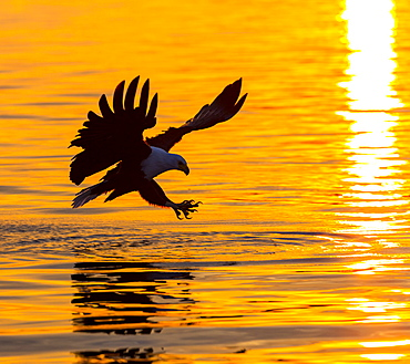 African Fish Eagle catching a fish in flight, Kenya