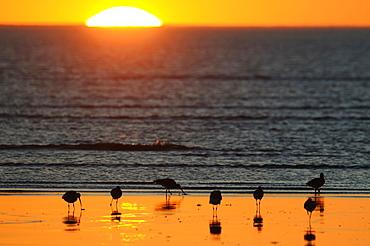 Eurasian Curlews seaside at sunset, France
