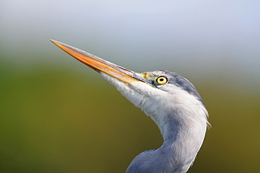 Portrait of Grey Heron, France