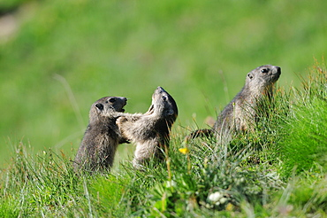 Young Alpine Marmots playing, Queyras Alps France