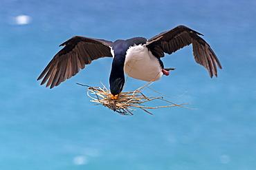 King Shag in flight, Falklands Saunders Island