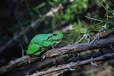 Green tree frog on a branch of rosemary, France