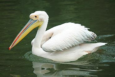 White pelican on water, Parc de la tête d'or  Lyon France