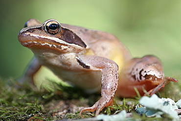 Grass frog on moss undergrowth, Brenne France