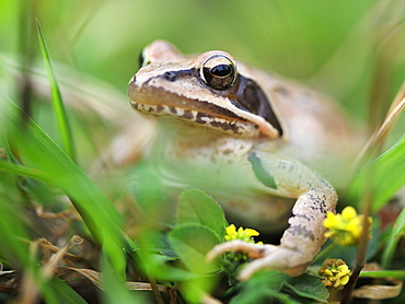 Grass frog in the grass, France