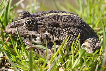 Lowland Frog on grass, France