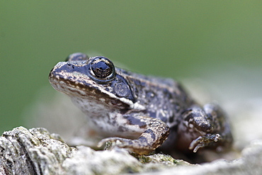 Young Lowland Frog on stump, France