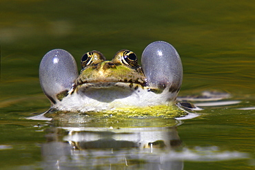 Portrait of male Lowland frog in a pond, France