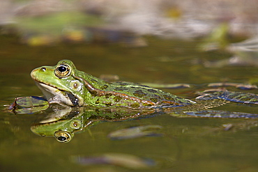 Lowland frog swimming in a pond, France