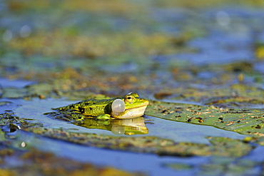 Green frog singing on lily leaf yellow, France