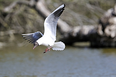 Black-headed gull in flight, Pont de Gau France