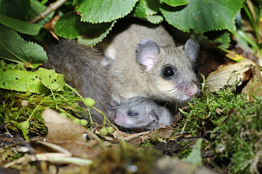 Fat Dormouse female and young, France