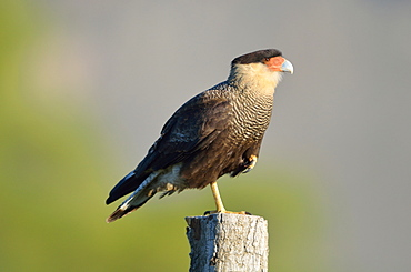 Crested Caracara at rest on a pole, Argentina