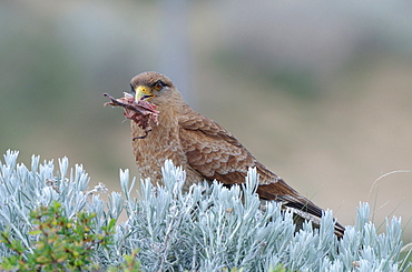 Chimango Caracara eating on bush, Argentina