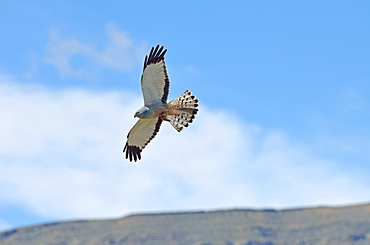 Cinereous Harrier male in flight, El Calafate Argentina