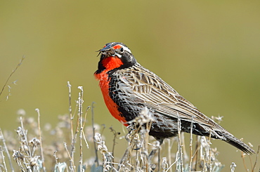 Long-tailed Meadowlark with spider in its beak, Argentina