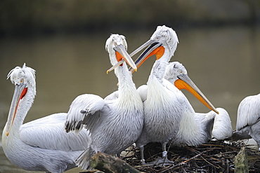 Dalmatian pelicans on the riverbank