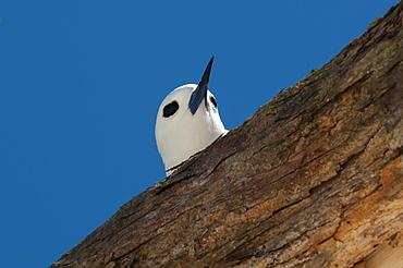 Common white-tern on a branch, Denis Island Seychelles