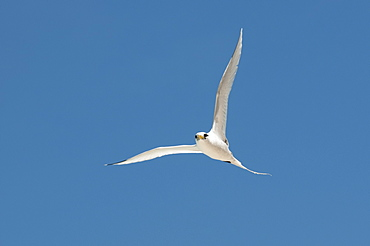 White-tailed tropic bird, Fregate Island Seychelles