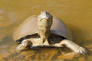 East African Serrated Mud Turtle, Kruger South Africa