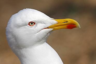Portrait of Yellow-legged Gull, Ile de Porquerolles France