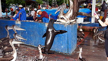 Brown Pelicans and Sea Lion on a dock, Galapagos