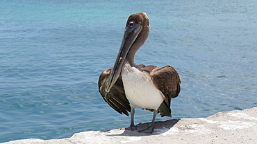 Brown pelican on a dock, Santa Cruz Galapagos