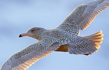 Glaucous Gull in flight, Norway