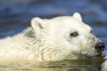 Young Polar Bear swimming across stream, Hudson Bay Canada