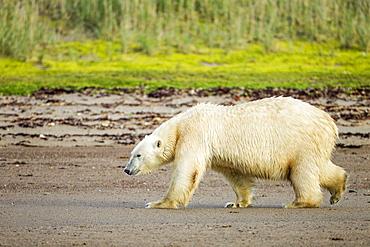 Polar Bear walking along sandy shoreline, Hudson Bay Canada