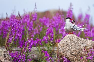 Arctic Tern holding fish near fireweed, Hudson Bay Canada