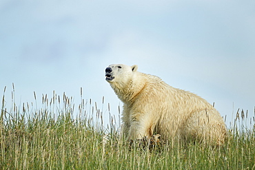 Polar Bear feeding on remains of Beluga, Hudson Bay Canada