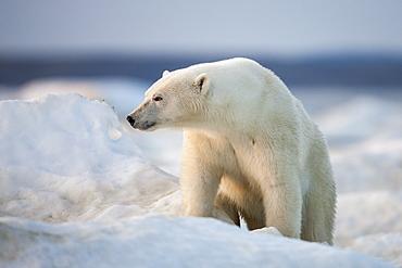 Polar Bear walking on pack ice, Hudson Bay Canada