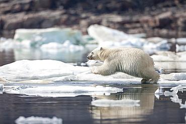 Polar Bear cub leaping from pack ice, Hudson Bay Canada