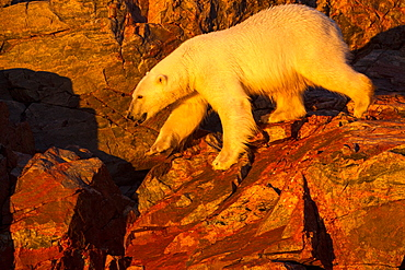 Polar Bear walking on cliffs, Hudson Bay Canada