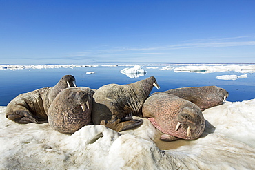 Walruses resting on iceberg, Hudson Bay Canada