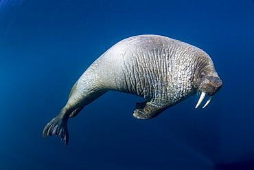 Walrus under water, Hudson Bay Canada