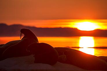 Walrus silhouette on melting sea ice- Hudson Bay Canada
