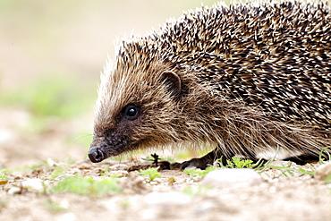 Western European Hedgehog walking, Midlands UK