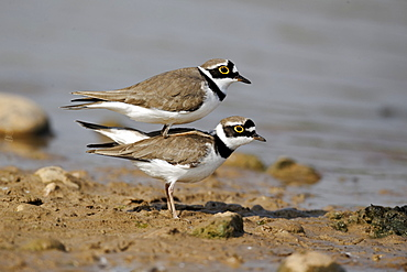 Little-ringed plovers on bank- Midlands UK