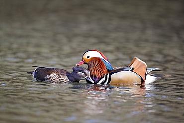 Pair of Mandarin Ducks on the water, Midlands UK