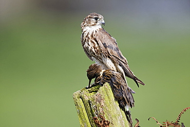 Merlin female with water rail on post, Britain UK