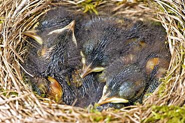 Young black redstarts at nest, France