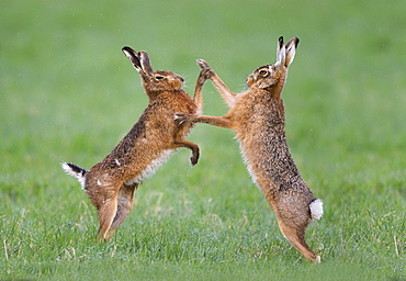 Brown Hares boxing at spring, GB
