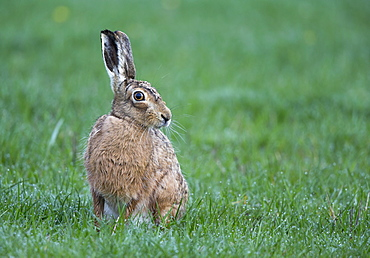 Brown Hare in a meadow at spring, GB