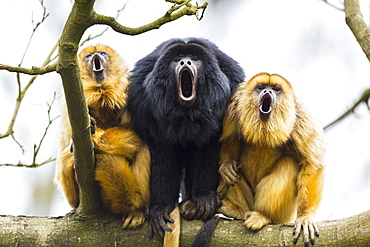 Black howlers on a branch