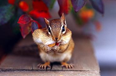 Siberian chipmunk eating peanuts, Canada